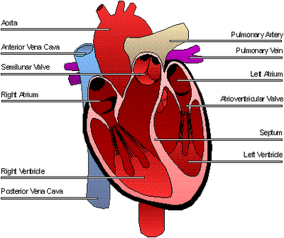 the heart, Muscles