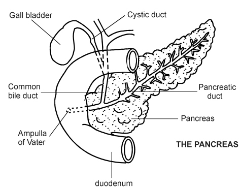 The insulin injector the pancreas this is a picture of the pancreas and its neighbors ccuart Choice Image