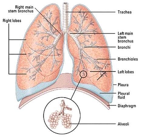 The air collectors the lungs this a diagram of a pair of lungs featuring all the main parts ccuart Images