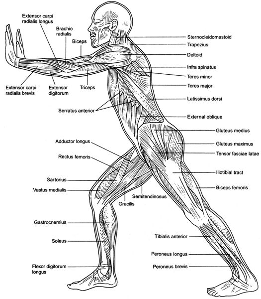 human body systems, Muscles