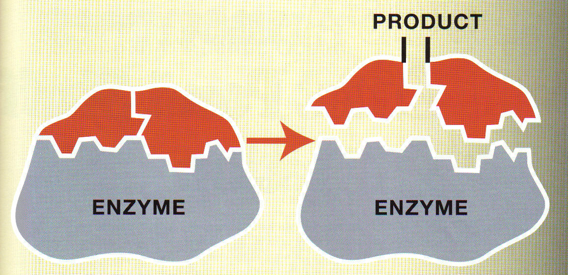 links enzyme link enzyme activity 1 what are enzymes 2 how many ...