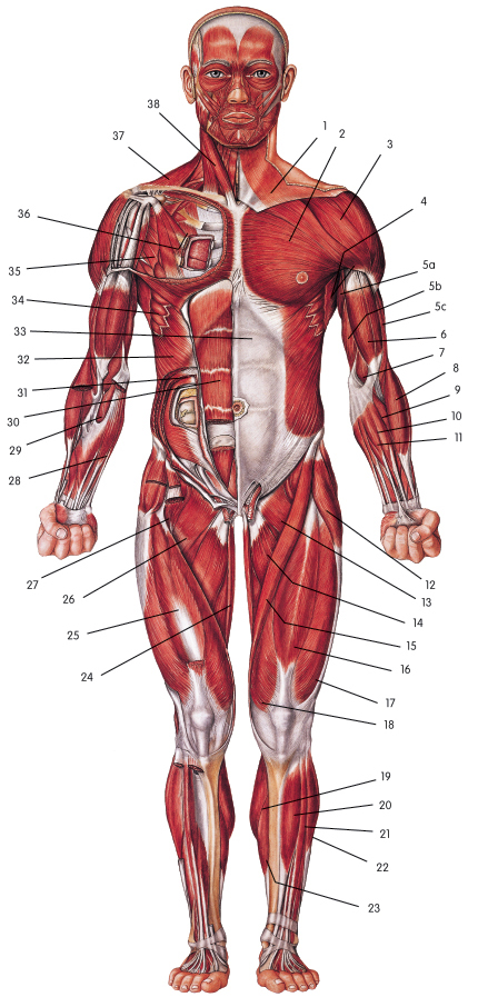 Autumns Muscular System Web Quest